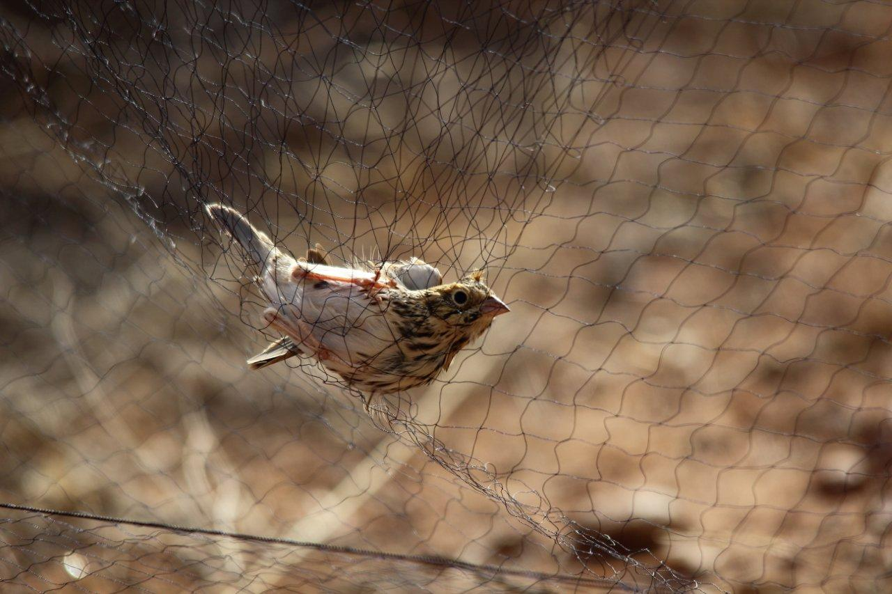 Netted Sparrow