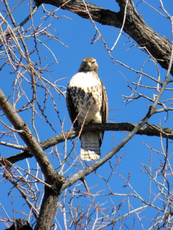 Red-tailed Hawk by Lynn Willcockson