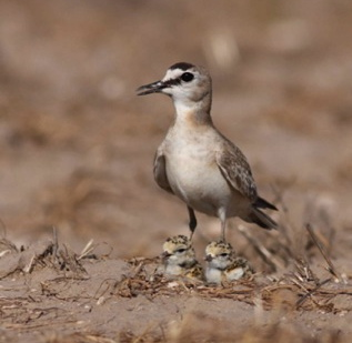 Plover with Brood