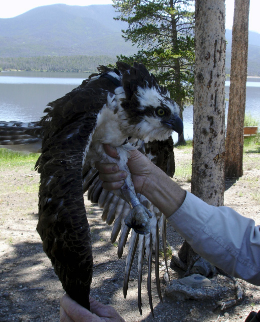 A Tale of Two Osprey Continues — BirdConservancy.org 50bcba475177