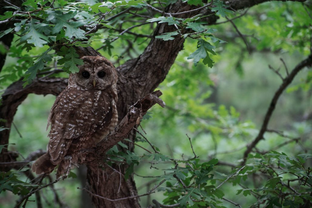 Mexican Spotted Owl. Photo by Danny Hofstadter, (Bird Conservancy field technician).