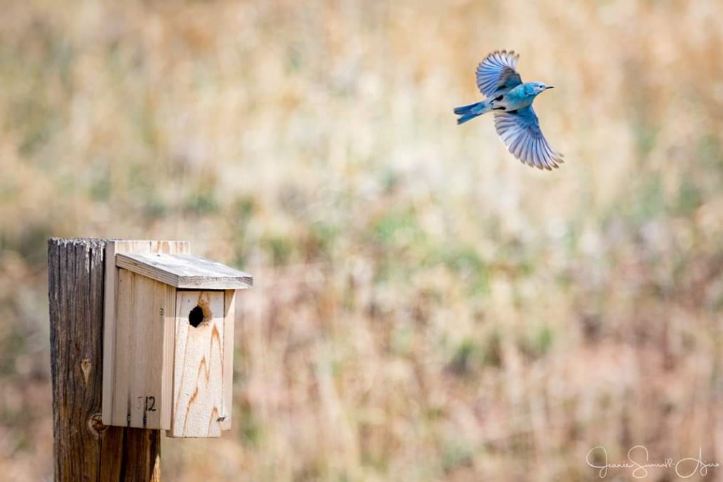 A bluebird launches itself from a nestbox on the Soderberg Bluebird Trail in Larimer County, CO. Photo by Jeanie Sumrall-Ajero.