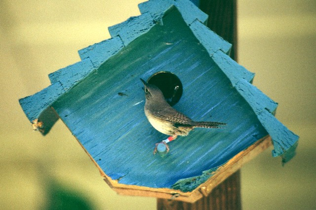 House Wren at box copy