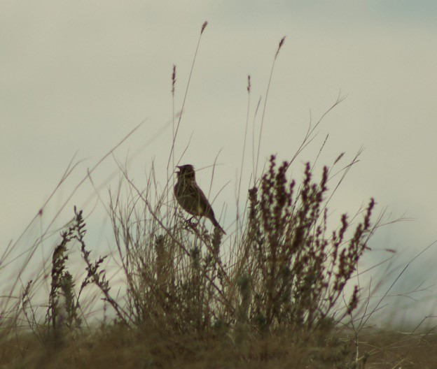 A Baird's Sparrow joins the morning chorus on a prairie dawn (Jacy Bernath-Plaisted)