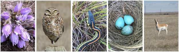Diversity of life in the Northern Great Plains. From left to right: Prairie Crocus (Jacy Bernath-Plaisted); Burrowing Owl (Jacy Bernath-Plaisted); Plains Garter Snake (Kelsey Bell); Lark Bunting eggs (Nicole Guido); Pronghorn (Jacy Bernath-Plaisted)