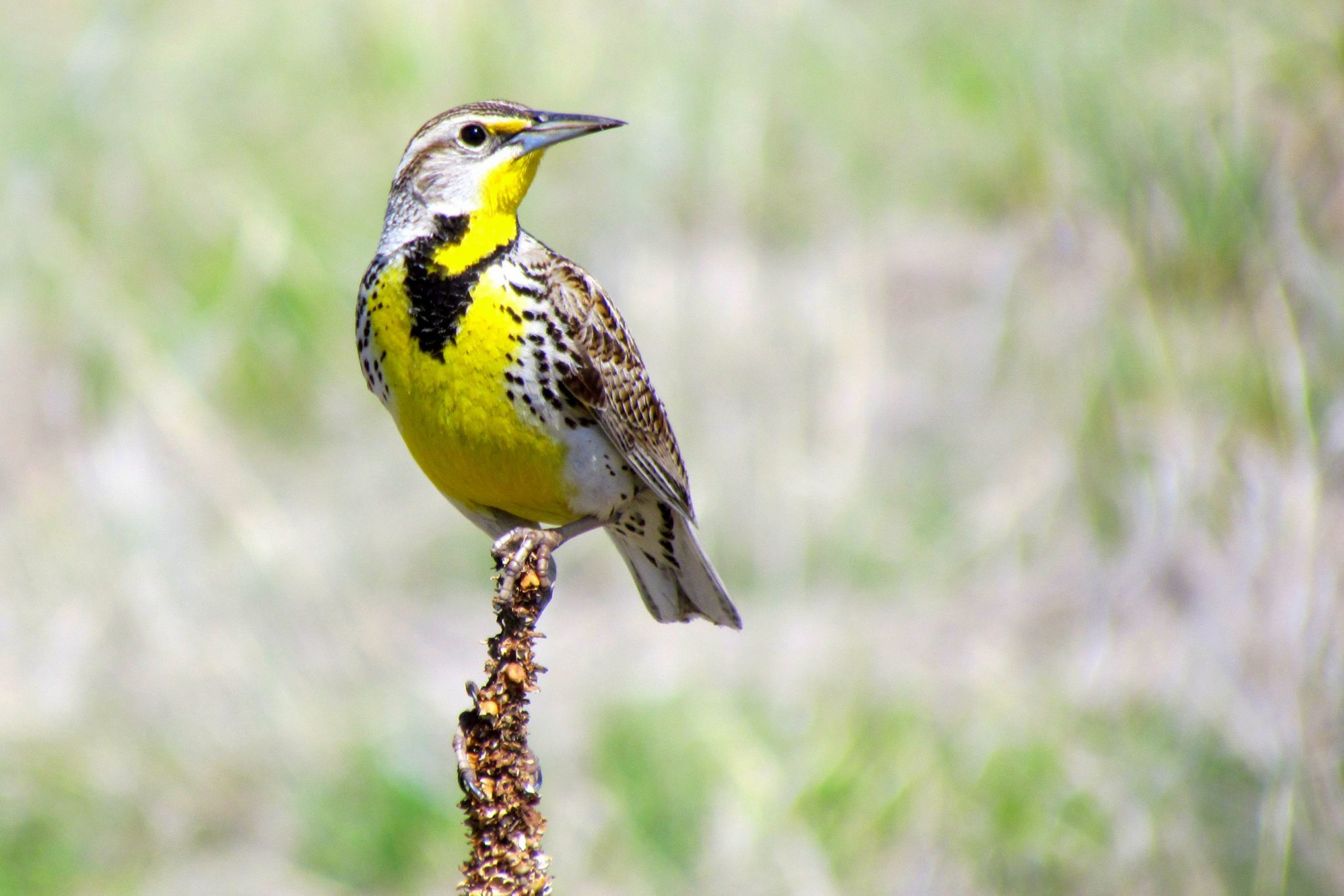 Western Meadowlark (male). Photo by Deanna Beutler