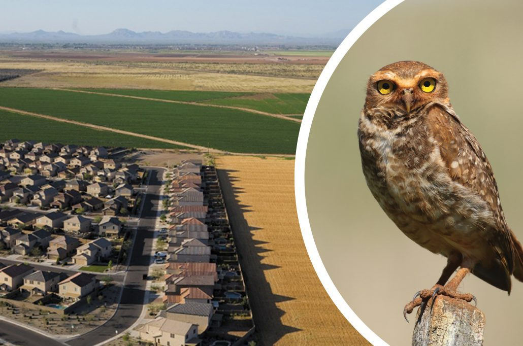 Northern Colorado's Front Range is one of the fastest growing places in the country. All that growth inevitably is leading to habitat loss for iconic species like the Western Burrowing Owl. Burrowing Owl photo by Greg Levandoski.