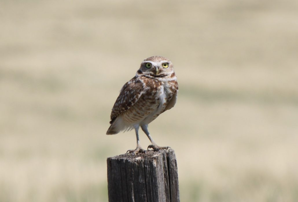 Burrowing Owls are an iconic image of the West. They are small at only about 10 inches tall! They make their nests in the burrows of fossorial mammals, mammals that dig burrows underground, primarily among black-tailed prairie dog colonies, but other burrows will do. Although these owls are a species of conservation concern and listed as state-threatened in Colorado, they have the potential to adapt. The Open Space at Sterling Ranch currently has an active prairie dog town, just what these owls need. Photo by Tasha Blecha.