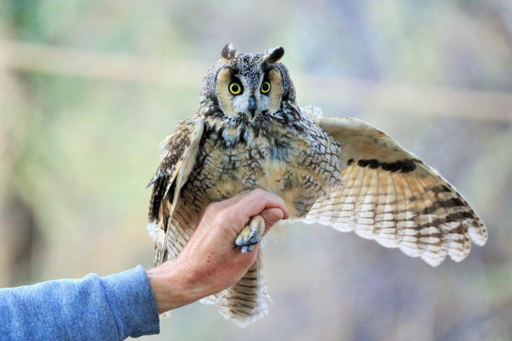 Our largest banded bird of the season, a Long-eared Owl weighing in at 296.8 grams. Long-eared Owls regularly roost in the wooded groves at Chico Basin Ranch. Photo by Risë Foster-Bruder.