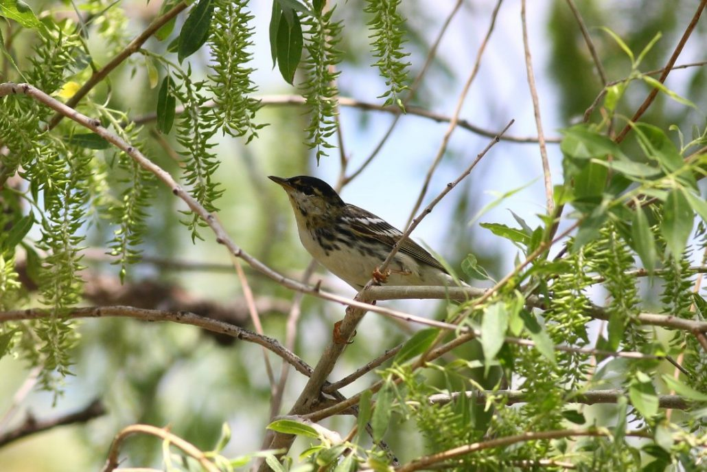 A male Blackpoll Warbler sighted in a willow grove at Chico Basin Ranch this Spring. Though we didn't band any this season, eighteen Blackpoll Warblers have been banded in previous Spring seasons. Photo by Colin Woolley.