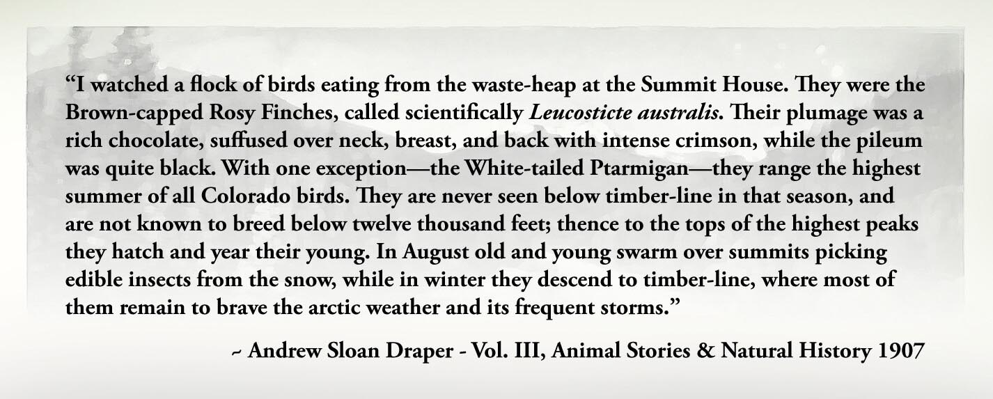 """I watched a flock of birds eating from the waste-heap at the Summit House. They were the Brown-capped Rosy Finches, called scientifically Leucosticte australis. Their plumage was a rich chocolate, suffused over neck, breast, and back with intense crimson, while the pileum was quite black. With one exception—the White-tailed Ptarmigan—they range the highest summer of all Colorado birds. They are never seen below timber-line in that season, and are not known to breed below twelve thousand feet; thence to the tops of the highest peaks they hatch and year their young. In August old and young swarm over summits picking edible insects from the snow, while in winter they descend to timber-line, where most of them remain to brave the arctic weather and its frequent storms."" ~ Andrew Sloan Draper - Vol. III, Animal Stories & Natural History 1907"