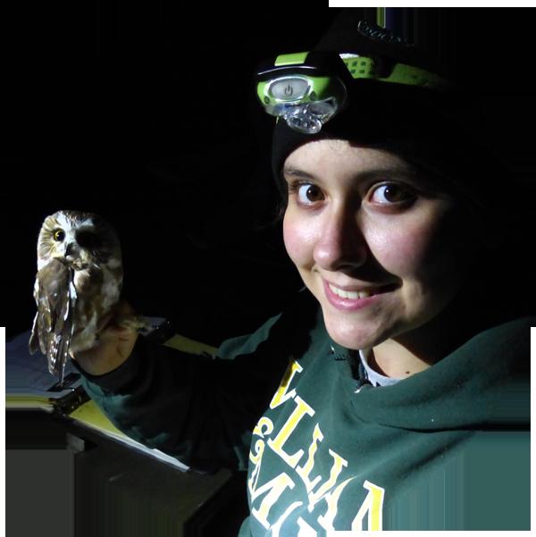 Northern Saw-whet Owl Banding