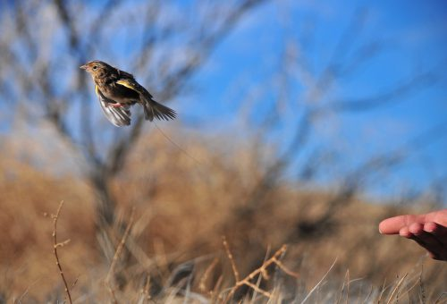 A Grasshopper Sparrow outfitted with a tiny radio transmitter is released. NMBCA funds help support bird monitoring programs that give insight into causes of this species' decline. Photo: Isaac Morales