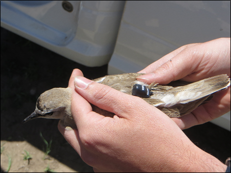 Mountain Plover GPS tag photo by Colin Woolley