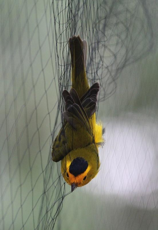 Wilson's Warbler in net photo by Bird Conservancy of the Rockies